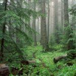 Обои лес
